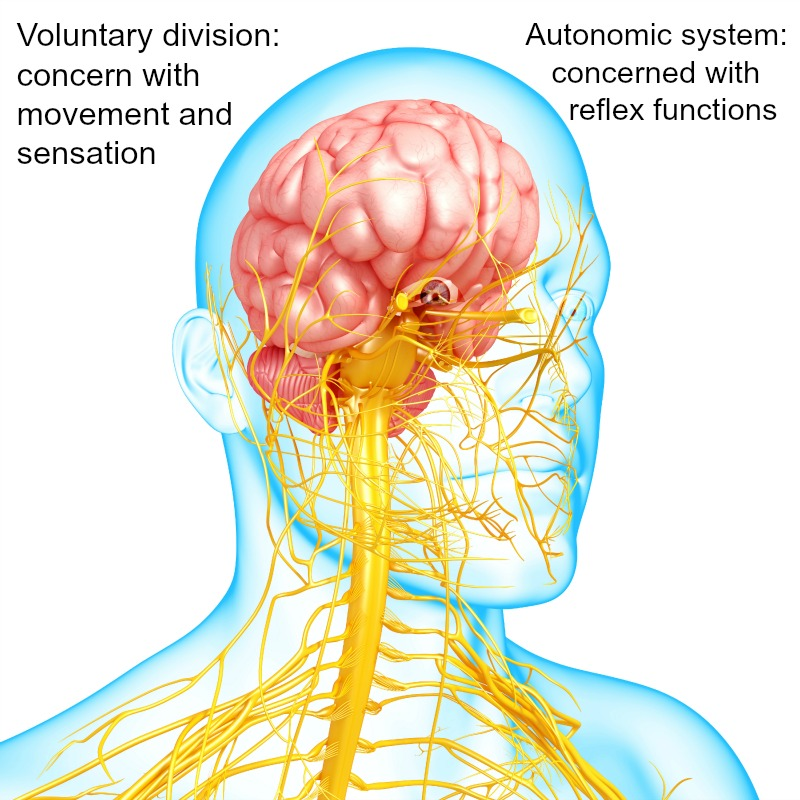 nervous system diseases;autonomic nerve disorders,neurological system., Muscles
